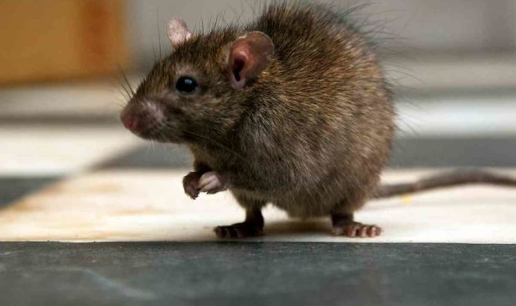 Rat virus OUTBREAK: Scientists warn pathogen has jumped from animals to humans