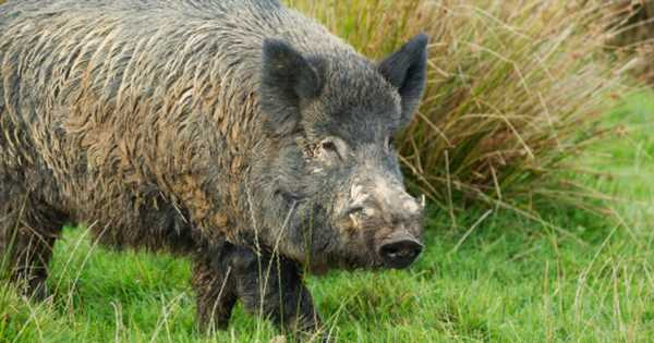 Roaming packs of wild pigs 'completely out of control' and 'costing billions'