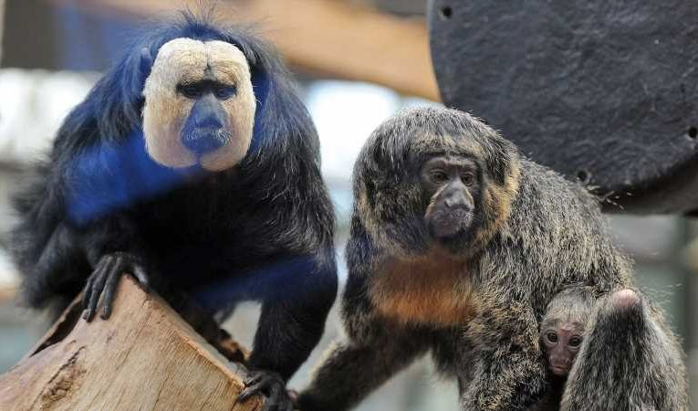 Monkeys in Finland zoo prefer traffic noises over nature sounds