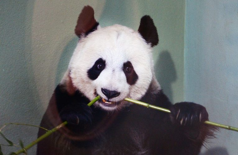 UK's giant pandas may have to go back to China over 'financial pressure'