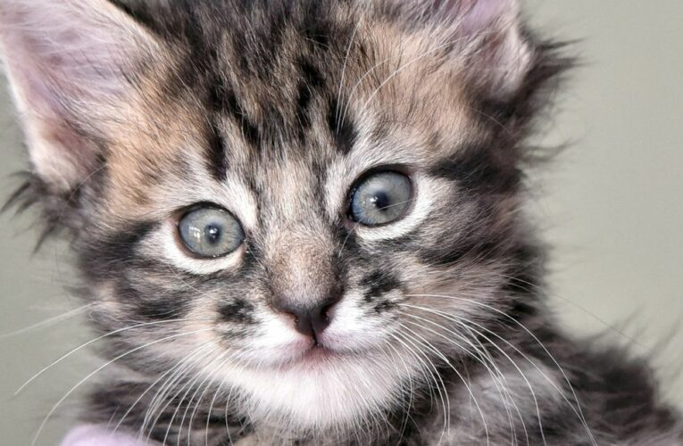 Kitten dies after catching coronavirus from owner in UK first, scientists say