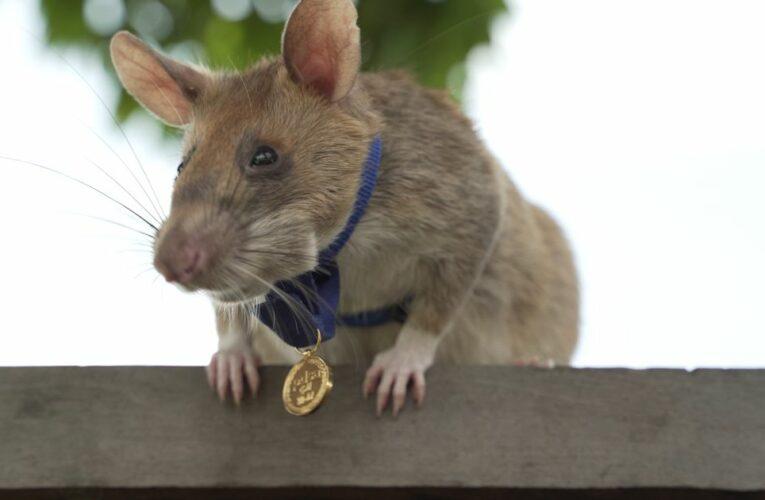 Hero rat awarded gold medal for sniffing out landmine retires