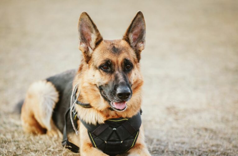 Hero army dog death every two weeks sparks inquiry calls to defence chiefs